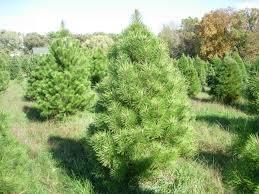 the ol u0027 dairy barn christmas tree farm christmas trees
