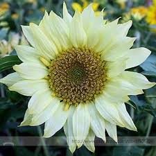 moonshadow white ornamental sunflower seed professional pack 20
