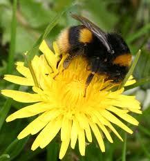 buff tailed bumblebee naturespot