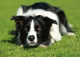 australian shepherd x border collie 10 high maintenance dog breeds