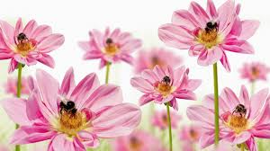 flower bees gerberas fresh flower summer spring