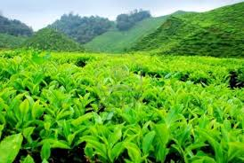 suteramb services package cameron highland tour