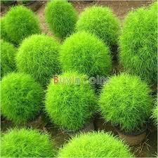 200 seeds kochia scoparia grass plant summer cypress seed