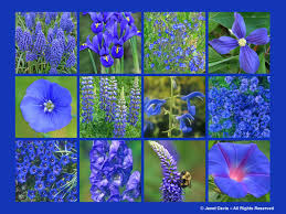 blue flowers spring color colour bulbs perennials grape