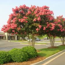 ornamental trees for sale fast growing trees