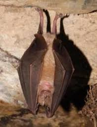 As Blind As A Bat Meaning All About Bats Bat Conservation Trust