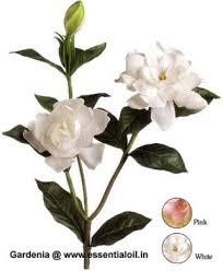 Gardenia Flower Gardenia Oil Gardenia Flower Perfume Oil
