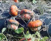 specialty crop profile ornamental gourds vce publications