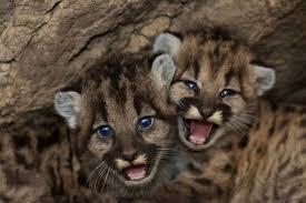 imagenes de leones salvajes gratis fotos gratis naturaleza linda fauna silvestre zoo joven