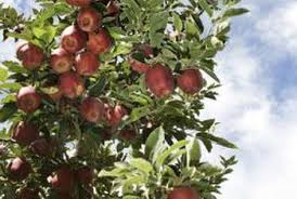 how to grow seeds from store bought apples home guides sf gate