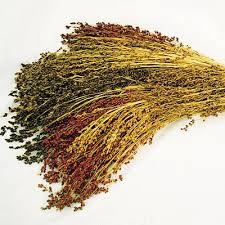 broom corn mix harris seeds