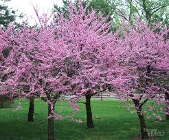 natives with year round interest eastern redbud shrub and