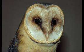 Barn Owl Sounds It U0027s A Hoot Being An Owl U2013 They Don U0027t Become Deafer With Age The