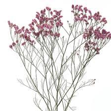 statice flowers statice sea lavender limonium species ontario