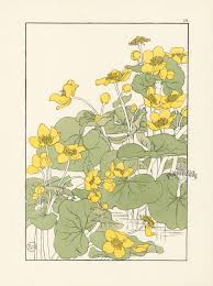 decorative flower the kingcup or marsh marigold jeannie foord