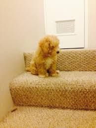 Go Down Stairs by 8 Puppies Are Trying To Figure Out How To Go Down The Stairs The