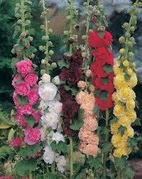 Hollyhock Flowers Chater U0027s Double Hollyhock Plants Encyclopedia