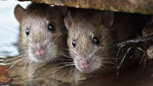 1 victim of rat disease lived in bronx building owned by 5 u0027worst