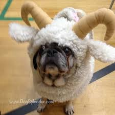 in costumes best 25 pugs in costume ideas on pug costume pug