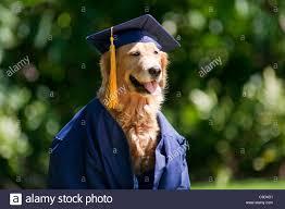 dog graduation cap golden retriever dog graduation cap stock photos golden