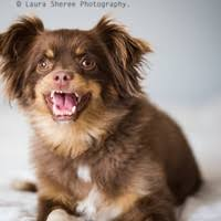 australian shepherd miniature the miniature australian shepherd pack photos of miniature