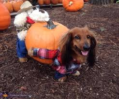 Halloween Costumes Dachshunds Pumpkin Harvest Costume Dogs