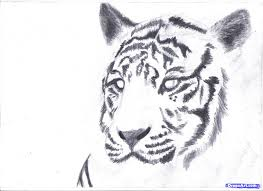 tiger sketches pencil how to draw a white tiger draw a tiger in