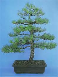 bonsai tree histories scots pine bonsai history pinus