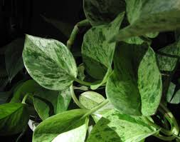 spider plant cheyenne garden gossip