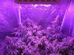 how far away do i keep grow lights from cannabis plants grow