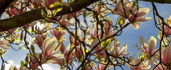 free images tree nature branch blossom sky sunlight leaf
