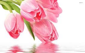 wallpaper bunga tulip pink tulips wallpaper flower wallpapers 28802 tulips