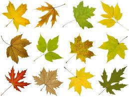 how to identify maple tree varieties lovetoknow