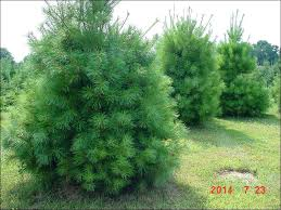 white pine trees chester county pa evergreen trees b b white pine evergreen trees