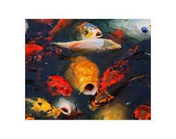koi photography koi fish photo koi photo koi print koi art koi photography koi fish photo koi photo koi print koi art animal photography fine art photography fish photography home decor
