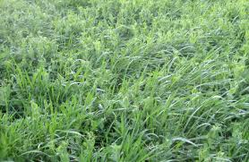 cover crops more information to help you choose osborne seed