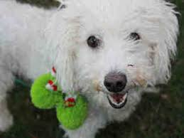 bichon frise dogs for adoption view ad bichon frise dog for adoption massachusetts brewster usa