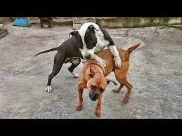 boxer dog kills man pitbull vs boxer best off youtube