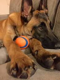 belgian sheepdog diet the single dog toy you should ditch now to build better focus