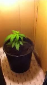 Plants Easy To Grow Indoors How To Grow Indoor Cannabis Cheap And Easy Youtube
