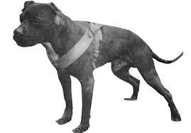 american pitbull terrier kingfish bloodline discontinued pits discontinued pits lonzo bloodline breeders
