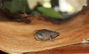 strange u201d new frog found in swimming pool u2013 national geographic