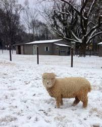 White Rabbit Studios At 1818 Farms Babydoll Sheep And Fall
