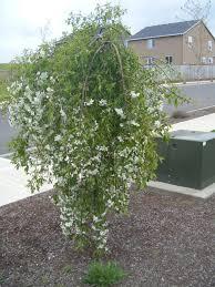 crabapple weepping april showers thetreefarm