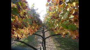 the lyre training system for grapevines grape video 17 youtube