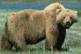 Bears Montana Hunting And Fishing - concerned about grizzly bears where they are and where they ain t