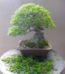 freshly trimmed tiny trees bonsai bark