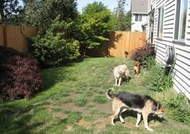 Backyard Ideas For Dogs Northwest Botanicals Inc U2022 Seattle Landscape Design And