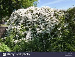 climbing shrubs stock photos u0026 climbing shrubs stock images alamy