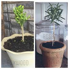 Herb Topiaries Diy Living Rosemary And Boxwood Topiary Tutorial On A Budget One